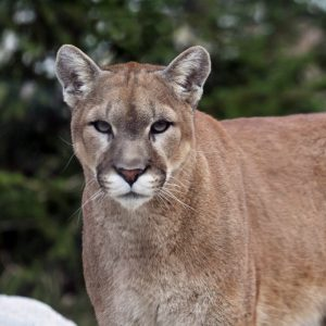 Warning ~ Cougar Sightings September 17 & 18