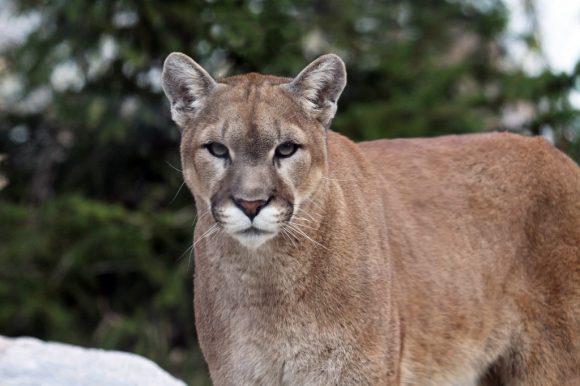 Warning ~ Cougar Sightings September 17 & 18
